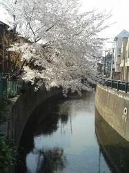 桜 003.jpg
