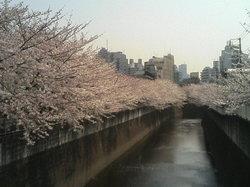 桜4-1 002.jpg
